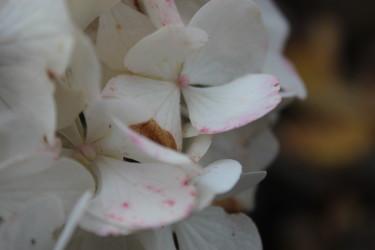 Stänk av rosa färg på kronbladen / Foto: Anna Theorin