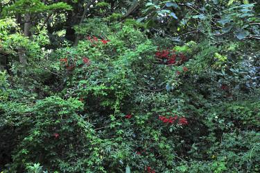 Eldkrasse klättrar över ett stort rododendronbuskage. Foto: Bernt Svensson