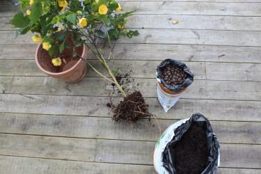 Uppgrävd och dags för plantering! / Foto: Anna Theorin