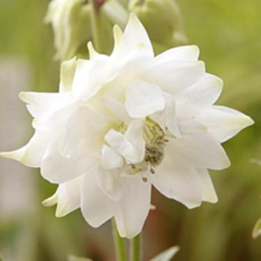 Akleja 'White Barlow' är riktigt lysande vit! Beställ här: [Perennerbjudande](http://erbjudande.odla.nu/bpr/?p=1)