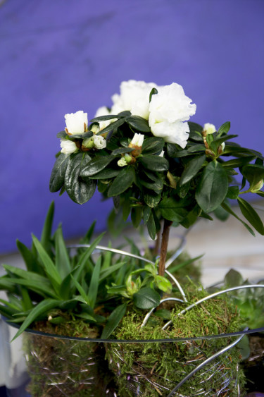 Uppstammad azalea och sedumväxter blir fint tillsammans.   Foto: Blomsterfrämjandet