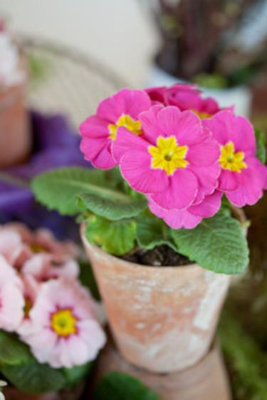 Ute är det vinter ett bra tag till. Inomhus kan vi tjuvstarta med våren i kruka. Foto: Blomsterfrämjandet/Minna Mercke Schmidt