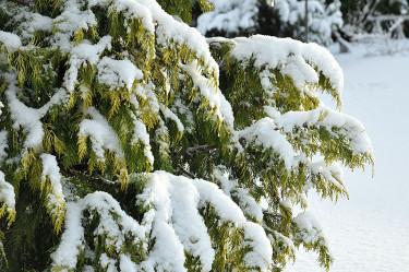 Ädelcypress, _Chamaecyparis lawsoniana_, 'Golden Wonder' i snön. Foto: Sylvia Svensson
