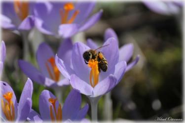 En ivrig insekt går i närkamp med en vacker krokus. Kan det bli mer vårkänsla än så?