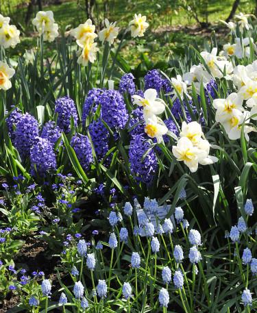 Narcisser, hyacinter 'Dark Blue' och pärlhyacinter. Foto: Sylvia Svensson