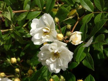 _Rosa helenae_ 'Hybrida', närbild på en åldrad blomma. Foto: Sylvia Svensson