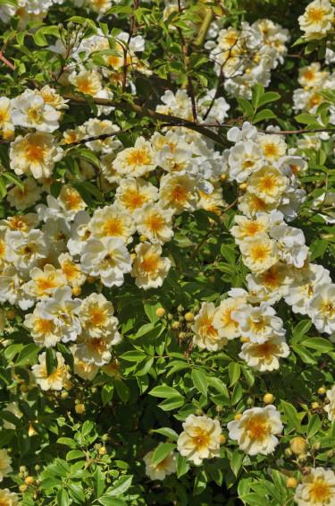 Honungsrosen 'Hybrida' med sina karaktäristiska gula knoppar och gulvita, halvfyllda blommor som doftar fantastiskt. Foto: Lars Forslin