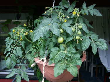 Har du gröna tomater kan du ta i dem och låta mogna i inomhusvärmen!  Foto: Sylvia Svensson