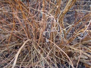 En ölandstok beskärs bäst genom att klippas ner helt med några års mellanrum.
