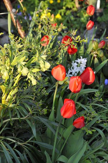 Klockjulros, Helleborus foetidus med Tulipa 'Apeldoorn' i april. Foto: Sylvia Svensson