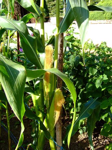 Nästan färdig majs. Foto: Sylvia Svensson