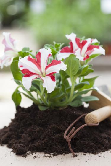 Roliga, tvåfärgade petunior! Foto: Blomsterfrämjandet/Anna Skoog