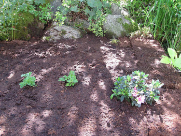 Minihjortronmyr planterad med de första två hjortronplantorna och en miniazalea Foto: Hannele Niemelä