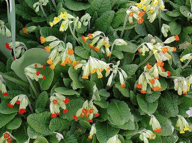 _Primula veris_, **gullviva**, i olika färger. Foto: Sylvia Svensson
