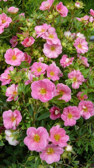 _Potentilla fruticosa_ 'Pink Paradise', en rosa och rolig tok.   Foto: Pepinieres Minier/Splendour Plant