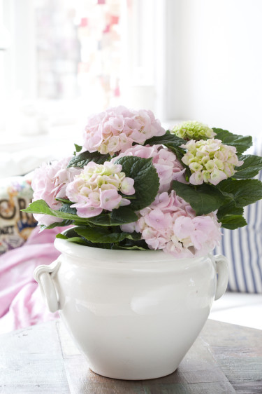 Rosa hortensia drar blickarna till sig var den än placeras. Foto: Blomsterfrämjandet/Anna Skoog