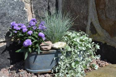 Blåsvingel, sommaraster och silvernjurvinda. Foto: Blomsterfrämjandet