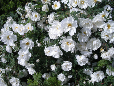 Finlands vita ros, _Rosa spinossima_, 'Plena' blommar vid midsommartid. Foto: Sylvia Svensson
