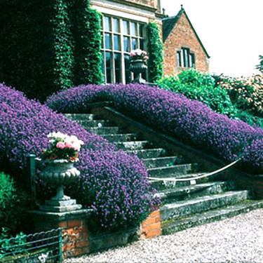 Lavendel, Lavandula angustifolia 'Hidcote Blue Strain'