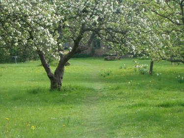 En gräsmatta ska fylla många funktioner. I en fruktlund behöver gräset inte vara perfekt klippt och gångar skapas spontant där vi väljer att strosa fram. Foto: Katarina Kihlberg