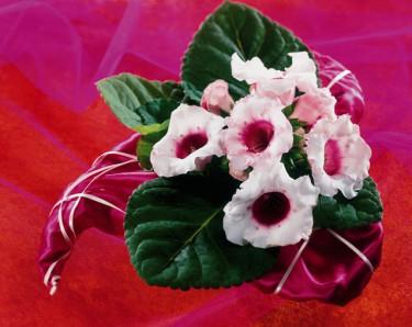 Gloxinia, _Sinningia speciosa_. Foto: Blomsterfrämjandet/FD.