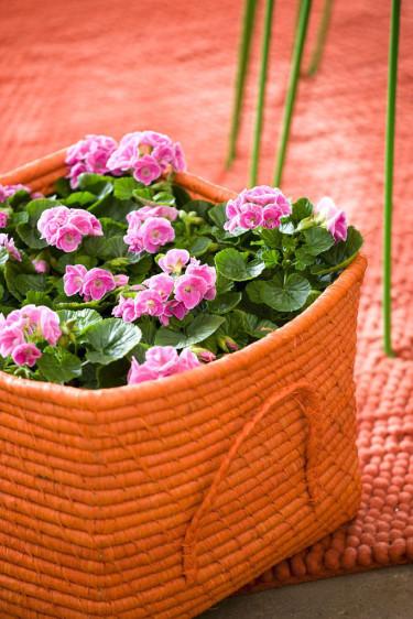 Populära pelargoner ute och inne, _Pelargonium_.