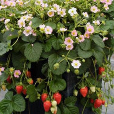 Ampeljordgubbe 'Camara' ger söta bär i mängder att skörda från hängande amplar.
