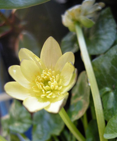 Svalört, _Ranunculus ficaria_, 'Salmon White'. Foto: Sylvia Svensson