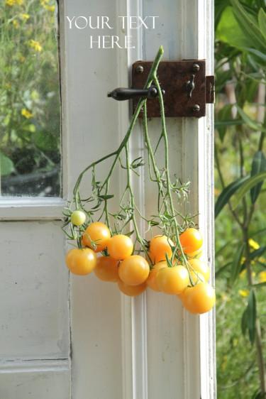 Den ljusgula tomatsorten 'Wapsipinicon Peach'.