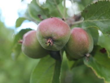 Äppelkart på gång! / Foto: Anna Theorin