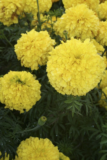Stor tagetes - Tagetes erecta 'Doubloon impr.'. Foto: Blomsterfrämjandet.