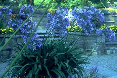 Kärlekslilja - Afrikas blå lilja, _Agapanthus_ i Mainau.