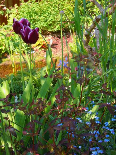 Mandeltörel, _Euphorbia amygdaloides_, med purpurfärgade tulpaner. Foto: Bernt Svensson