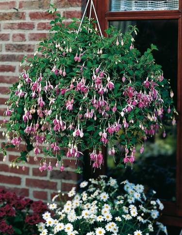 Fuchsia i ampel. Foto: Blomsterfrämjandet/Hörnhems.