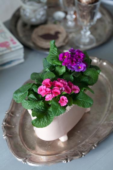 Fylldblommande jordviva är en mycket omtyckt vårblomma.   Foto: Blomsterfrämjandet/Minna Mercke Schmidt