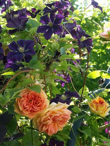 Klätterros, _Rosa_ 'Alchymist' tillsammans med klematis, _Clematis viticella_ 'Etoile Violette'. Foto: Sylvia Svensson