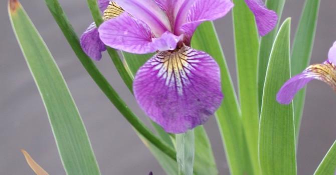 _Iris setosa_, sumpväxt.