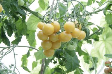 'Wapsipinicon Peach', en liten,  välsmakande, gräddgul tomatsort.