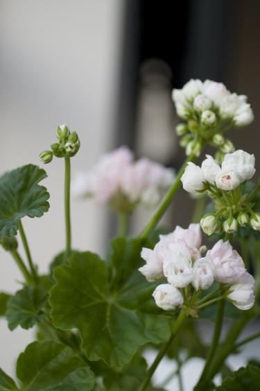 Mårbacka tulpanpelargon. Foto: Blomsterfrämjandet