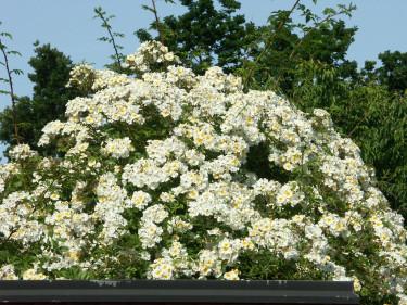 Klättrande honungsrosen _Rosa helenae_ 'Hybrida' strävar mot himlen. Foto: Sylvia Svensson