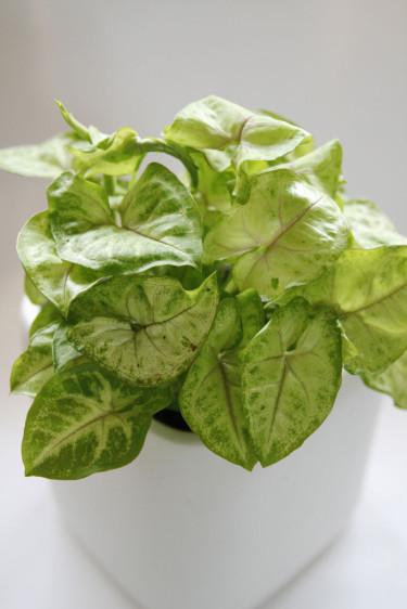 Gröna växter - mer än bara grönt. Pilspetsranka, _Syngonium podophyllum_ 'Andrea'.