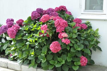 Hortensia, _Hydrangea macrophylla_, vill ha det varmt och skyddat för att hinna blomma. Foto: Sylvia Svensson