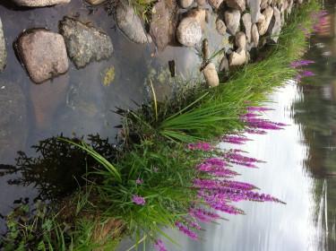Fackelblomster är ett av de växtslag som fungerar bra att sätta ut i stadsdammarna.