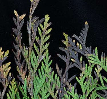 Skott av tuja angripna av _Phytophthora lateralis_.  Foto: SLU, Tomas Lagerström