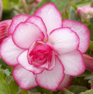 Begonia x tuberhybrida 'Bridesmaid'