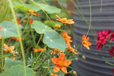 "Guldkosmos "" Taka Tuka Orange"" / Foto: Anna Theorin"