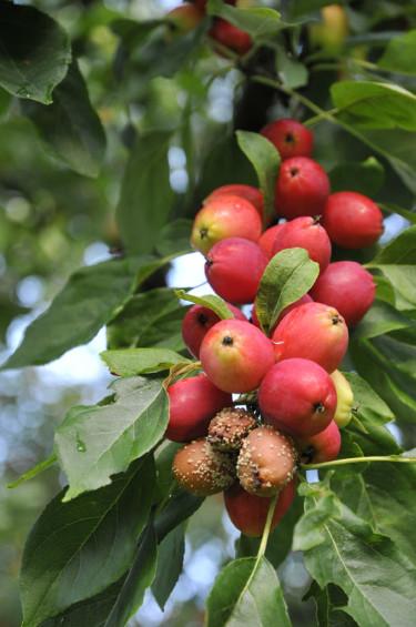 Fruktmögel på äpple. Foto: Sylvia Svensson