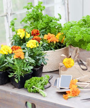 Tagetes livar upp bland kryddväxterna med sina härliga, friska färger. Foto: Blomsterfrämjandet, Anna Skoog