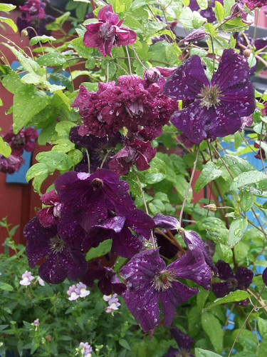 _Clematis viticella_ 'Purpurea Plena Elegans' + 'Royal Purple', båda småblommiga. Foto: Sylvia Svensson