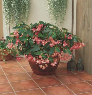 Begonia 'Dragon Wing' Pink.